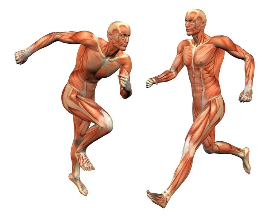 Κύρια φωτογραφία για το άρθρο: Πώς επιδρά η προπόνηση στην μορφολογία των μυών;