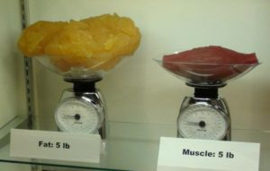 fat and muscle weight
